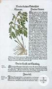 Hieronymus Bock, kolorierter Holzschnitt aus einem Kräuterbuch, Straßburg 1560