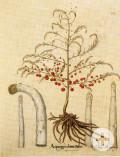 Spargelpflanze, kolorierter Kupferstich von Basilius Besler aus dem Hortus Eystettensis, 1613